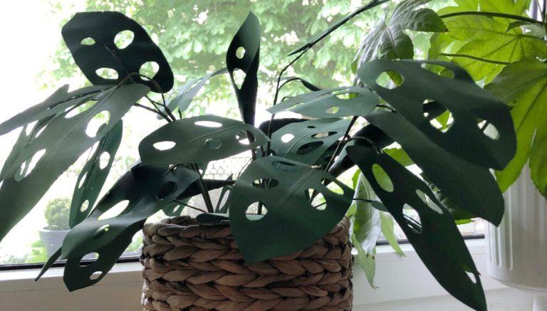 Paperplant Monstera Adansonii